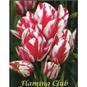 """Τουλίπα """"Flaming Club"""""""