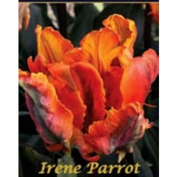 """Τουλίπα """"Irene Parrot"""""""