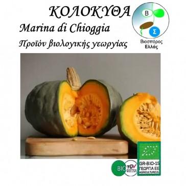 Κολοκύθα Marina di Chioggia, βιολογικοί σπόροι