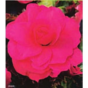 Μπιγόνια Διπλή Ροζ