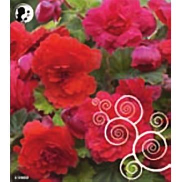 Μπιγόνια Αρωματική κόκκινη