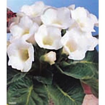 Γλοξίνια Λευκή