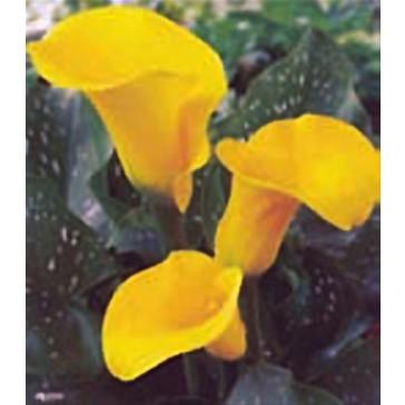 Κάλλα κίτρινη