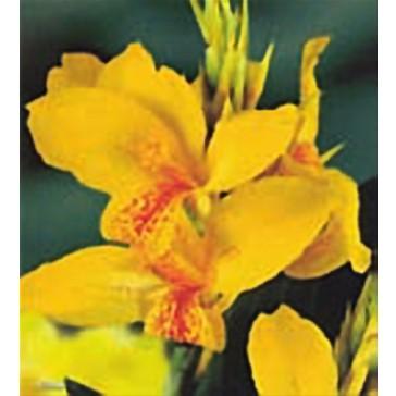 Κάννα κίτρινη