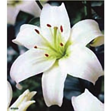 Λίλιουμ Ασιατικό Λευκό