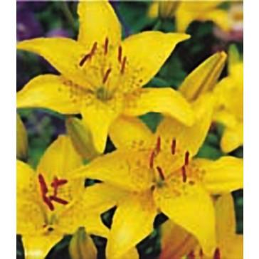 Λίλιουμ Ασιατικό Κίτρινο