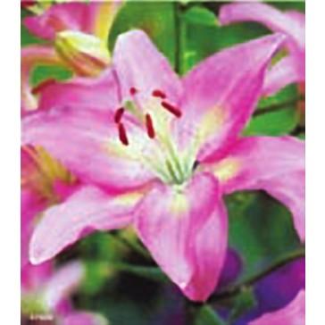 Λίλιουμ Ασιατικό Ροζ