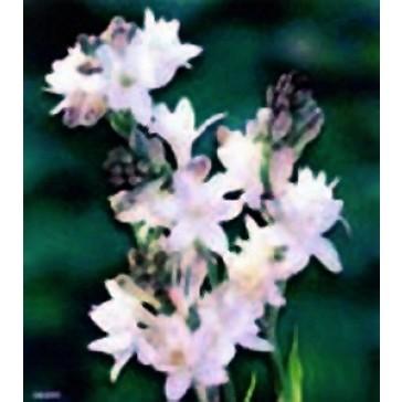"""Υάκινθος """"Polyanthus Tuberosa"""""""