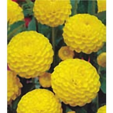 """Ντάλια """"Yellow"""""""