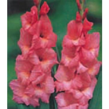 Γλαδιόλα (Γλαδίολος) Ροζ