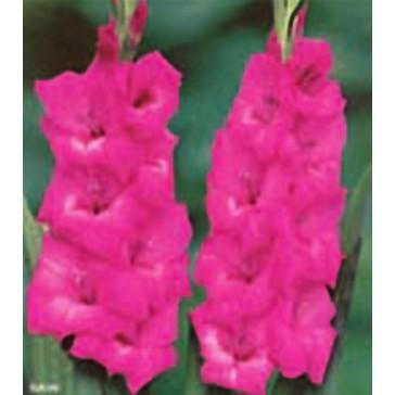 Γλαδιόλα (Γλαδίολος) Violette