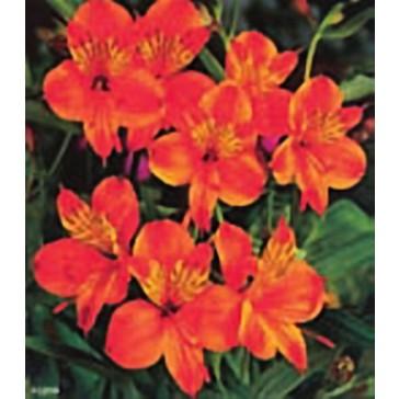 Αλστρομέρια πορτοκαλί