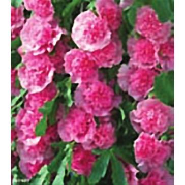 Αλθέα (Δενδρομολόχα) ροζ