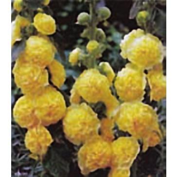 Αλθέα (Δενδρομολόχα) κίτρινη
