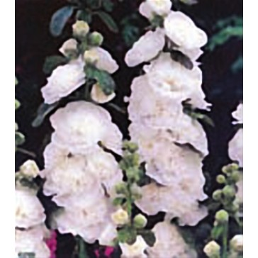 Αλθέα (Δενδρομολόχα) λευκή