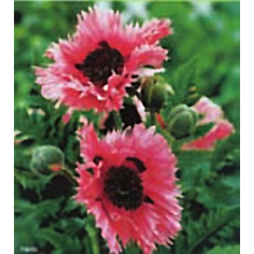 Παπαρούνα (Παπάβερ) ροζ