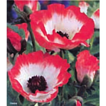 Παπαρούνα (Παπάβερ) λευκή - ροζ