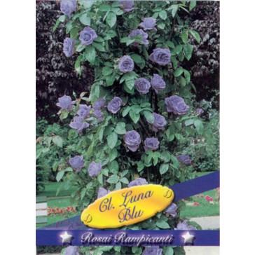 Τριανταφυλλιά αναρριχώμενη Cl Luna Blu
