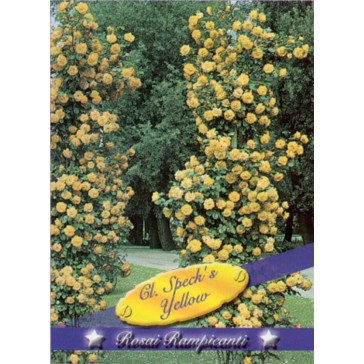 Τριανταφυλλιά αναρριχώμενη Cl Specks Yellow
