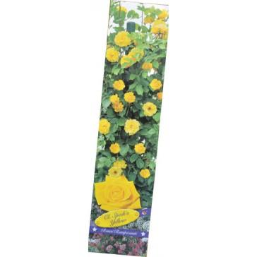 Τριανταφυλλιά αναρριχώμενη Speck's Yellow