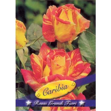 Τριανταφυλλιά θαμνώδης Caribia