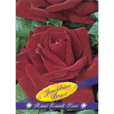 Τριανταφυλλιά θαμνώδης Josephine Bruce