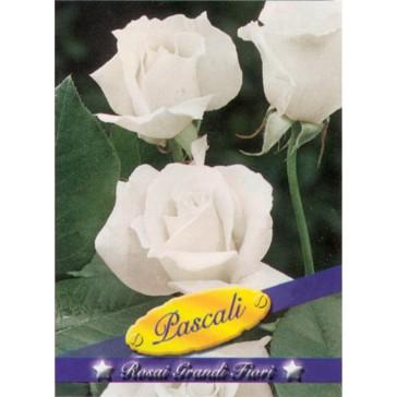 Τριανταφυλλιά θαμνώδης Pascali