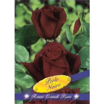 Τριανταφυλλιά θαμνώδης Perle Noir