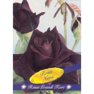 Τριανταφυλλιά θαμνώδης Rosa Nera