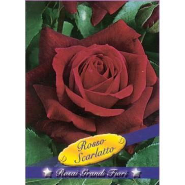 Τριανταφυλλιά θαμνώδης Rosso Scarlatto