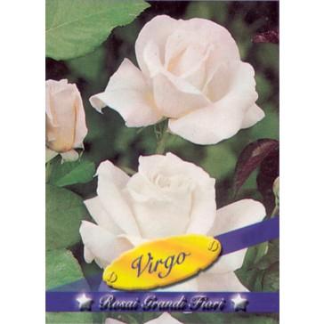 Τριανταφυλλιά θαμνώδης Virgo