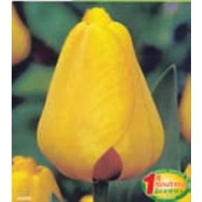 """Τουλίπα """"Golden Apeldoorn"""""""