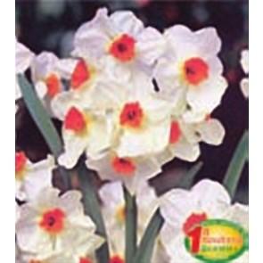 """Νάρκισσος """"Geranium"""""""