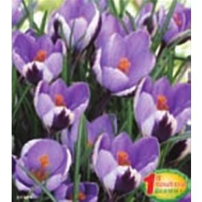 """Κρόκος """"Spring Beauty"""""""