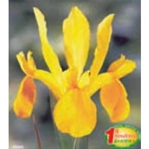 """Ίριδα """"Royal Yellow"""""""