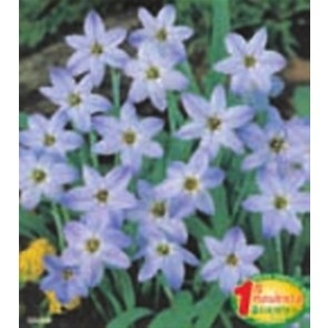 "Ipheion ""Wisley Blue"""