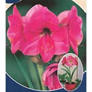 Αμαρυλλίδα ροζ