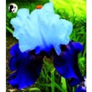 """Ίρις η γερμανική """"Blue Bird"""""""