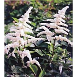 Αστίλβη λευκή