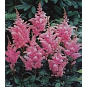 Αστίλβη ροζ