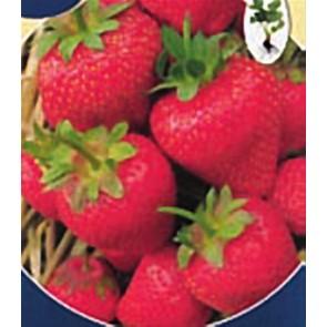 Φράουλα Πρώιμη (Πολύ Παραγωγική)