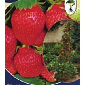Φράουλα Αναρριχώμενη