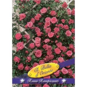 Τριανταφυλλιά αναρριχώμενη Cl Bella d' Oriente