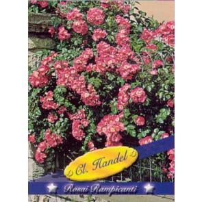 Τριανταφυλλιά αναρριχώμενη Cl Handel