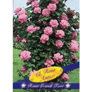 Τριανταφυλλιά αναρριχώμενη Cl Rosa Antico