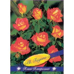 Τριανταφυλλιά αναρριχώμενη Cl Tzigane