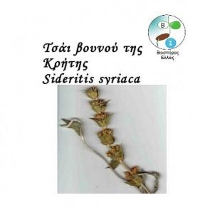 Τσάι του Βουνού της Κρήτης, σπόροι